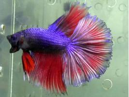 Рибка півник халфмун самець червоний (1229 Акварибкі Ферма)