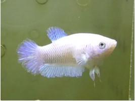 Рибка півник халфмун самка світла (1419 Акварибкі Ферма)