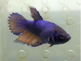 Петушок корона самка синя (1072 Акварибкі Ферма)