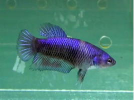 Рыбка петушок халфмун самка синяя (1219 Акварыбки Ферма)