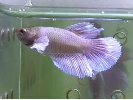 Рибка півник дамбо самка світла (1362 Акварибкі Ферма)