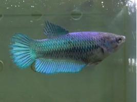 Півник халфмун самка синя (1324 Акварибкі Ферма)