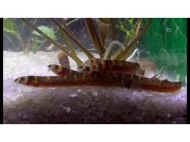 Аквариумная рыбка Акантофтальмус Кюля