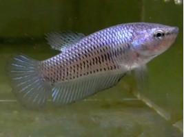 Петушок халфмун самка светлая (1028 Акварыбки Ферма)