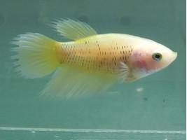 Рибка півник корона самка жовта (1381 Акварибкі Ферма)