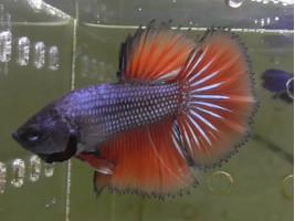 Петушок халфмун самец красный (1051 Акварыбки Ферма)