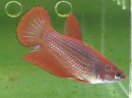 Петушок халфмун самка красная (1089 Акварыбки Ферма)