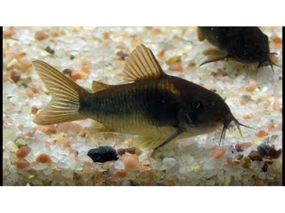 Сомік Коридорас Венесуела Блек акваріумна рибка