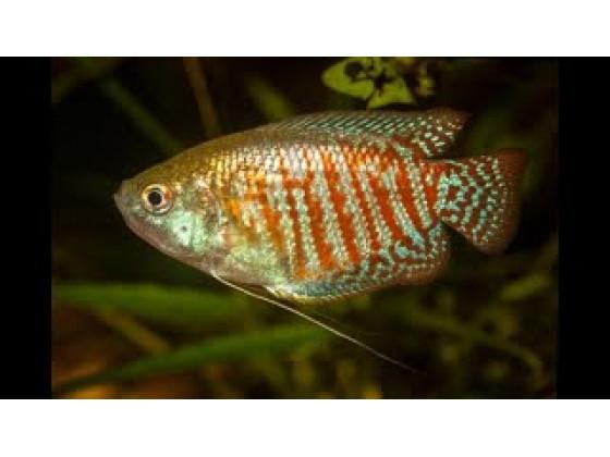 Акваріумна рибка ляліус (Colisa lalia)