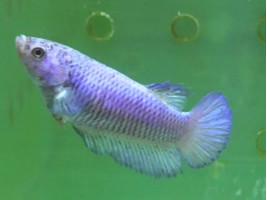 Рибка півник халфмун самка світла (1353 Акварибкі Ферма)
