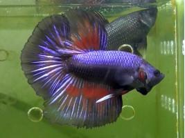 Петушок халфмун самець синій (1023 Акварибкі Ферма)