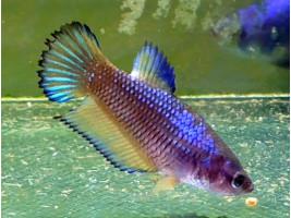 Рыбка петушок халфмун самка желтая (1266 Акварыбки Ферма)