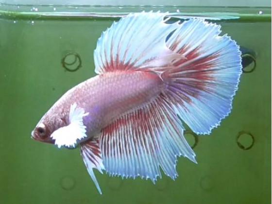 Рибка півник дамбо самець світлий (1371 Акварибкі Ферма)