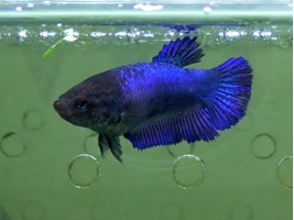 Рыбка петушок халфмун самка синяя (1247 Акварыбки Ферма)