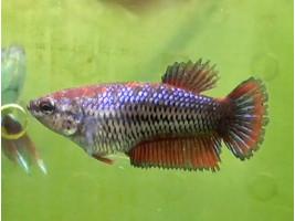 Рыбка петушок халфмун самка красная (1265 Акварыбки Ферма)