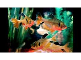 Серпас вуалевий мінор - акваріумна рибка