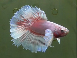 Рыбка півник дамбо самець світлий (1334 Акварибкі Ферма)