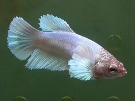 Рибка півник дамбо самка світла (1339 Акварибкі Ферма)