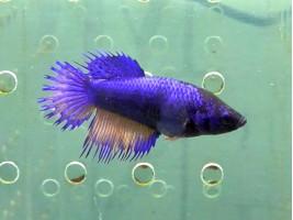 Рибка півник корона самка синя (1222 Акварибкі Ферма)
