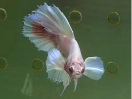 Рыбка півник дамбо самець світлий (1333 Акварибкі Ферма)
