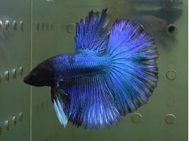 Рыбка петушок халфмун самец синий (1319 Акварыбки Ферма)