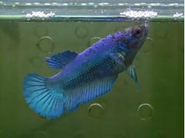 Півник халфмун самка синя (1287 Акварибкі Ферма)