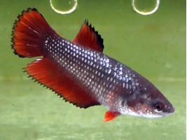 Петушок халфмун самка червона (1030 Акварибкі Ферма)