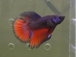 Петушок супердельта самець червоний (1171 Акварибкі Ферма)