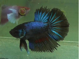 Рибка півник халфмун самець чорний (1321 Акварибкі Ферма)