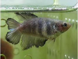 Рыбка петушок двухвостый самка светлая (1263 Акварыбки Ферма)