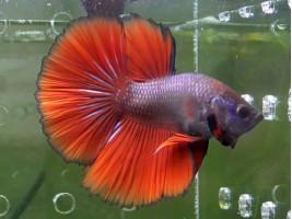 Петушок халфмун самець червоний (1054 Акварибкі Ферма)