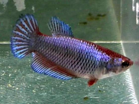 Петушок халфмун самка синяя (1162 Акварыбки Ферма)