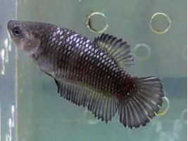 Рибка півник халфмун самка темна (1221 Акварибкі Ферма)