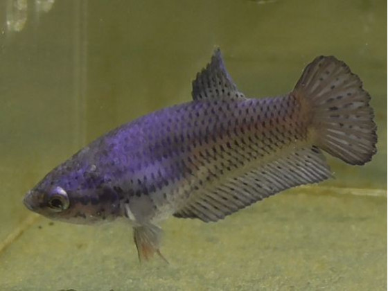 Рибка півник халфмун самка синя (1440 Акварибкі Ферма)