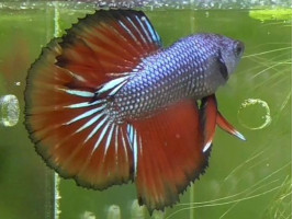 Петушок халфмун самец многоцветный (1056 Акварыбки Ферма)