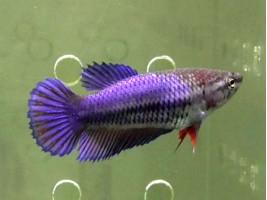 Петушок халфмун самка синя (1133 Акварибкі Ферма)