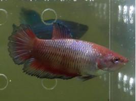 Петушок халфмун самка красная (1179 Акварыбки Ферма)