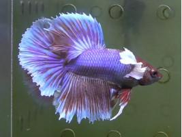 Півник дамбо самець фіолетовий (1372 Акварибкі Ферма)