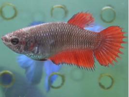 Рибка півник корона самка червона (1348 Акварибкі Ферма)