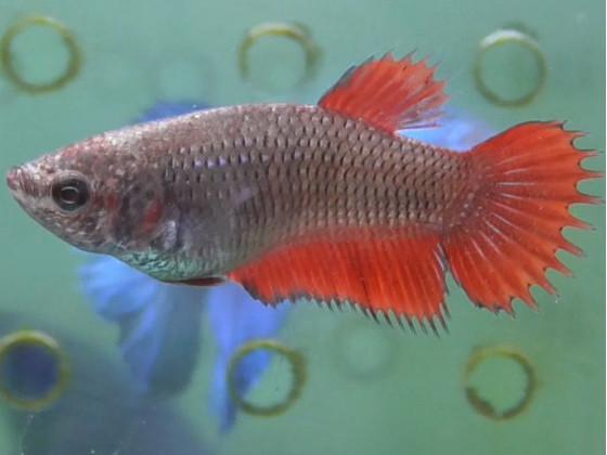 Рыбка петушок корона самка красная (1348 Акварыбки Ферма)