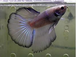Рыбка петушок супердельта самец желтый (1245 Акварыбки Ферма)