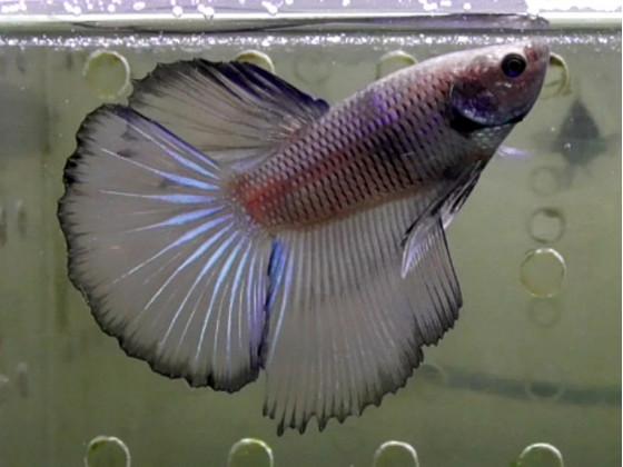 Рибка півник супердельта самець жовтий (1245 Акварибкі Ферма)