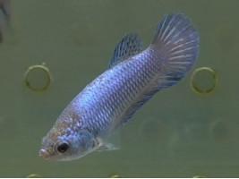 Півник халфмун самка блакитна (1342 Акварибкі Ферма)