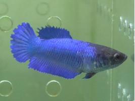 Рыбка петушок халфмун самка синяя (1251 Акварыбки Ферма)