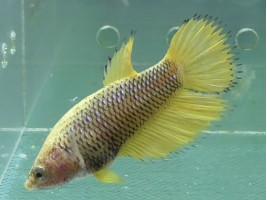 Рыбка петушок корона самка желтая (1410 Акварыбки Ферма)