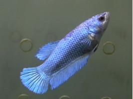 Півник халфмун самка синя (1325 Акварибкі Ферма)