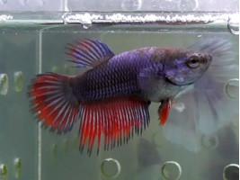 Рибка Рибка півник корона самка синя (1386 Акварибкі Ферма)