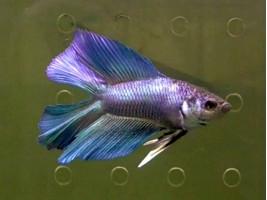 Петушок двухвост самец синий (1142 Акварыбки Ферма)