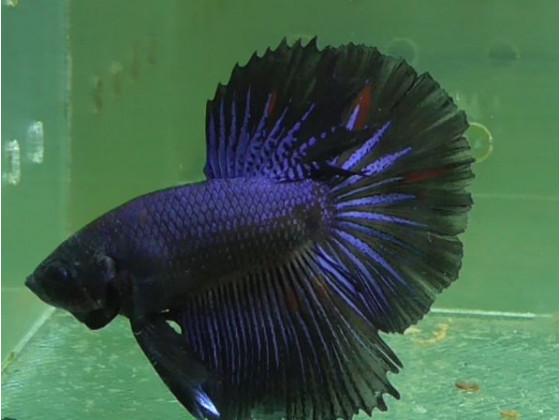 Рыбка петушок халфмун самец черный (1343 Акварыбки Ферма)