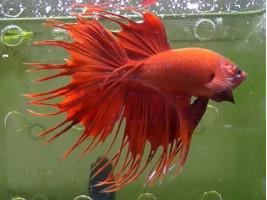 Петушок корона самець червоний (1092 Акварибкі Ферма)